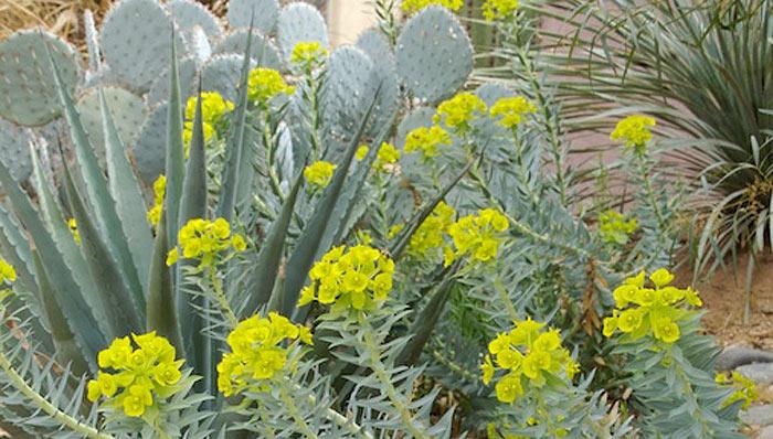 gopher-plant-desert