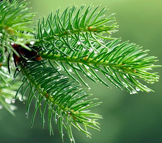 2012-12-5-PineNeedles