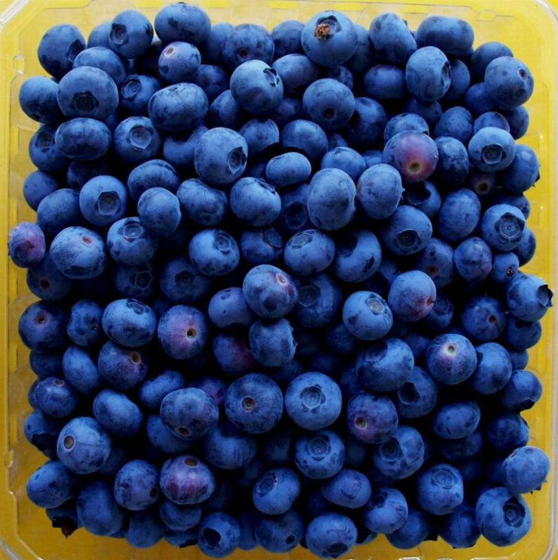 blueberries-just-picked