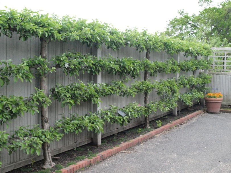 espaliered-fruit-trees