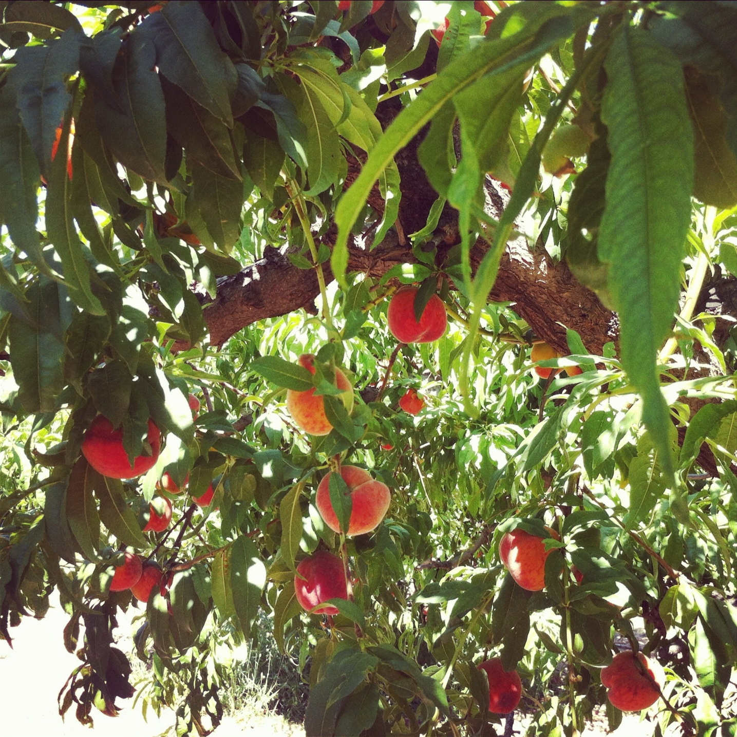 How to grow a peach tree from a pit master garden for The peach tree