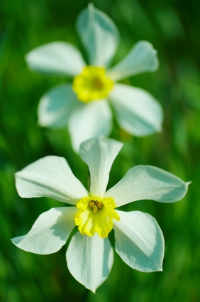 default-ehow-images-a06-76-s6-narcissus-flower-meaning-800x800