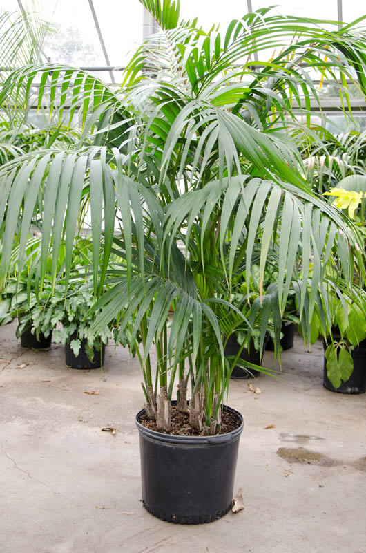 Palms Indoors — How to Grow Indoor Palm Trees  Master Garden