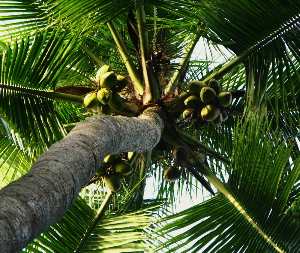 How to Plant a Coconut Palm Tree | Master Garden