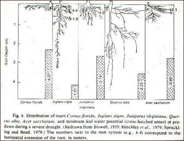 tree root depth
