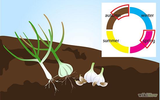 550px-Grow-Garlic-Step-1