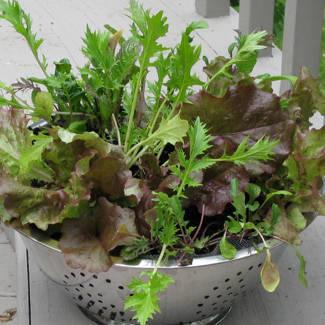 Lettuce-colander-325