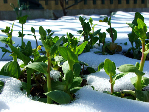 Winter gardening planting vegetables in early winter for an early spring crop master garden - Gardening mistakes maintaining garden winter ...