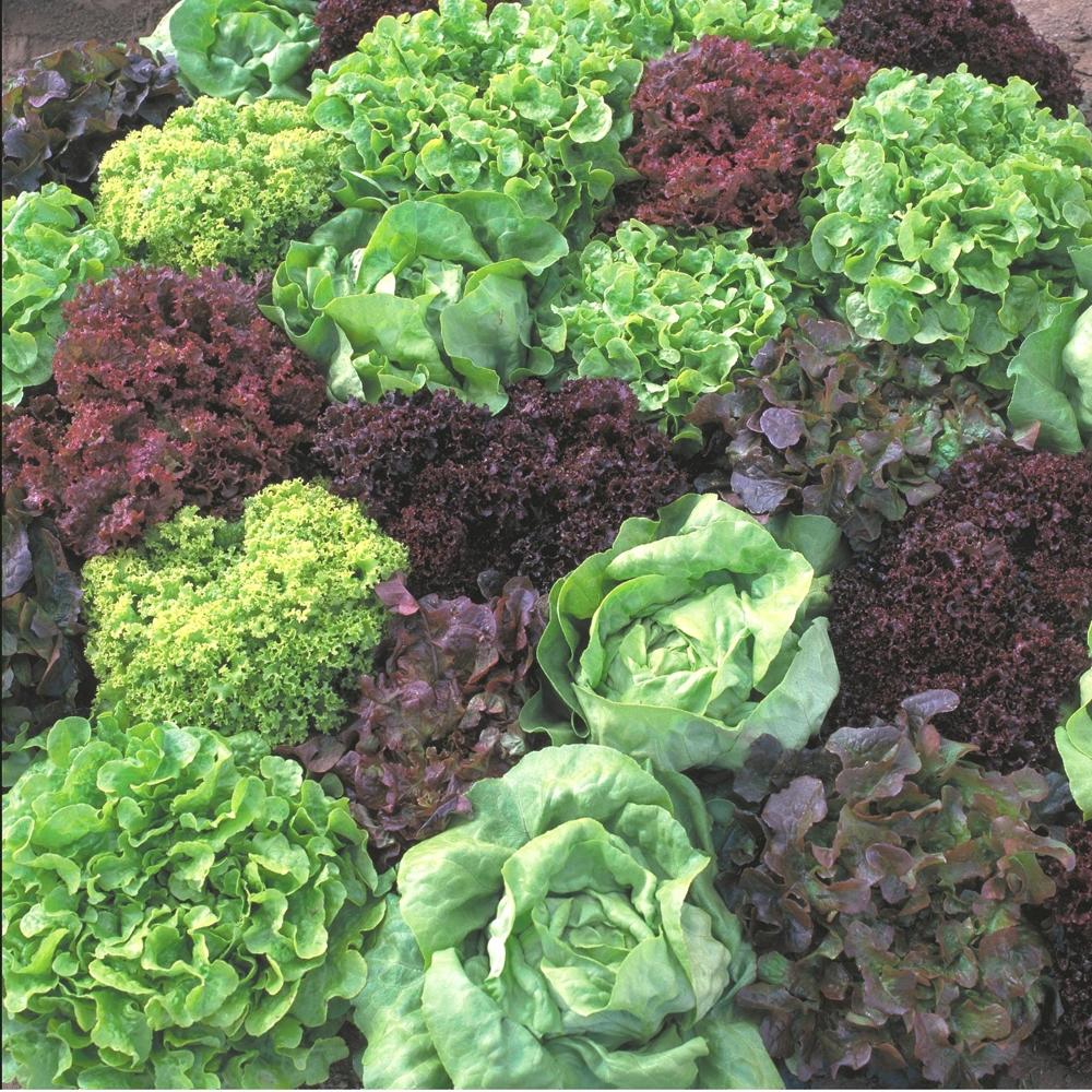 Фото растения салатов